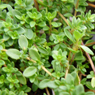 Properties and use of the essential oil of Thyme