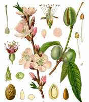 Plant origin, natural properties, and common uses of Sweet Almond oil Prunus amygdalus