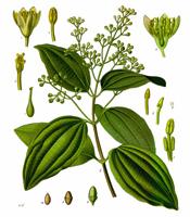 Des vertus des plantes par Macer Floridus, 1832 Cinnamon
