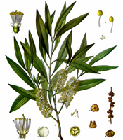 Plant origin, natural properties, and common uses of Niaouli essential oil Melaleuca quinquenervia