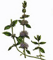 Plant origin, natural properties, and common uses of Pennyroyal essential oil Mentha pulegium