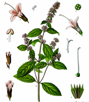 Plant origin, natural properties, and common uses of Peppermint essential oil Mentha arvensis
