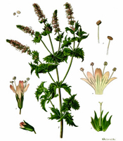 Plant origin, natural properties, and common uses of Spearmint essential oil Mentha spicata
